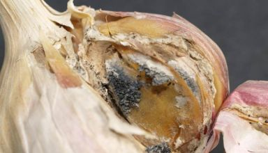 Finding a Viable Alternative to DADS for White Rot Control