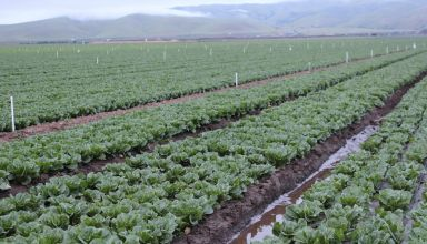 Downy Mildew Devastates Vegetable Crops in Southern California