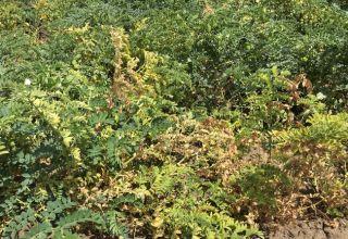 Fusarium Wilt in Garbanzos